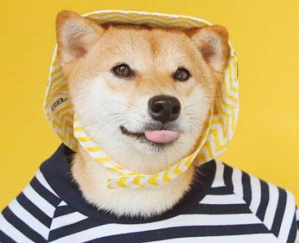 养什么狗最省心?—柴犬