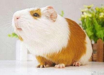荷兰猪的粮食和干草区别是什么?