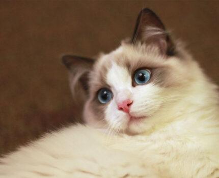 第七十三夜—如何判断血统纯正的布偶猫?