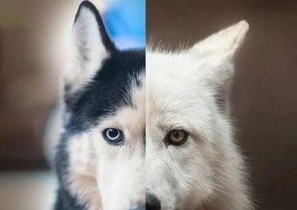 狼是怎么进化成狗的?