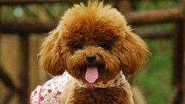 泰迪犬怎么养?最正确的泰迪犬饲养方法
